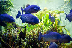 Piraya Piranha Royalty Free Stock Images