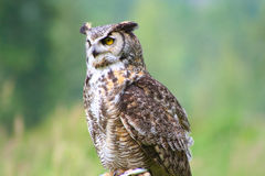 pirched stor horned owl Arkivbild