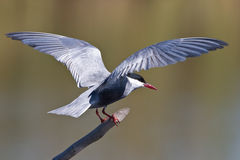 Pirched Whiskered Tern. Whiskered Tern on pirtch with open wings Stock Images