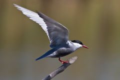 Pirched Whiskered Tern Royalty Free Stock Images