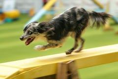 Pirenean Schäferhund auf einer Brücke Lizenzfreie Stockfotos
