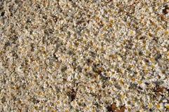 Piretro (cinerariaefolium del crisantemo) Fotografia Stock