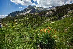 Pirin Mountain Landscape with flowers Stock Photos