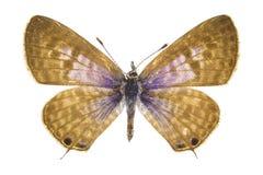 Pirithous Leptotes (Langs Kort stavelse-tailed blått) Arkivfoto