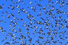 Pirouettes des étourneaux dans le ciel Photographie stock libre de droits