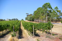 Pirramimma Vines. Photograph taken at Pirramimma Winery featuring the vineyard with eucalypt trees (McLaren Vale, South Australia stock images