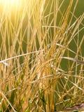 Pirscht trockene Gräser an Lizenzfreie Stockbilder