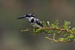 pirtch kingfisher pied Стоковые Изображения RF