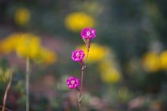Pirueta rosada Fotografía de archivo libre de regalías