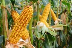 Épis de blé Image libre de droits