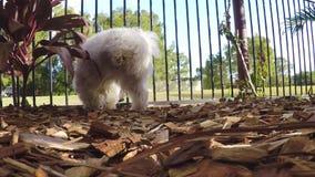 Pis masculino maltés blanco/que orina del perro en el jardín que marca su territorio metrajes