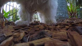 Pis masculino maltés blanco/que orina del perro en el jardín que marca su territorio almacen de video