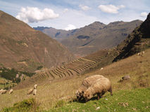 Pisac, Peruvian Terraced Lands Royalty Free Stock Photos