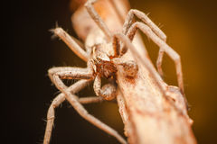 Pisaura Mirabilis male spider Royalty Free Stock Image