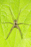 Pisaura mirabilis / The nursery web spider Stock Photo