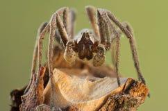 Pisaura mirabilis spider in nature Stock Image