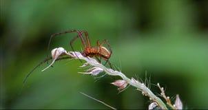 Pisaura pisauridae сети цветка Стоковая Фотография RF