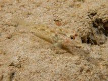 Pisca-pisca sandgoby Fotos de Stock