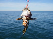 Piscatorius lophius ψαριών θάλασσας Στοκ Φωτογραφίες