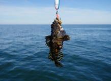 Piscatorius lophius ψαριών θάλασσας Στοκ εικόνες με δικαίωμα ελεύθερης χρήσης
