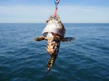 Piscatorius lophius рыб моря Стоковые Фото
