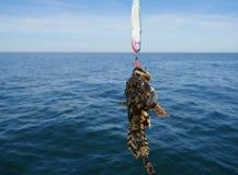 Piscatorius lophius рыб моря Стоковая Фотография