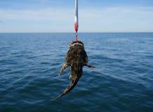 Piscatorius lophius рыб моря Стоковые Изображения