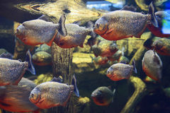 Piscean fish in the aquarium. Exotic fish of the underwater world. Royalty Free Stock Photos