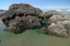 Piscina de la marea con las anémonas de mar imagen de archivo