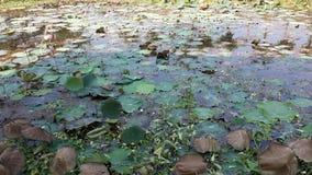 Piscina de Lotus foto de archivo libre de regalías