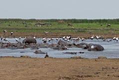 Piscina del hipopótamo Imagen de archivo