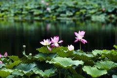 Piscina del loto Foto de archivo libre de regalías
