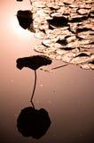 Piscina del loto Fotografía de archivo