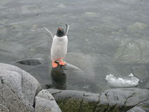Piscina del pingüino en Lockroy portuario Imagen de archivo