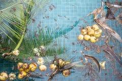 Piscina sucia, suciedad a partir de la caída del árbol de coco en el agua de la piscina Fotos de archivo