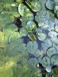 Piscina @ Tailandia de Lotus Foto de archivo libre de regalías