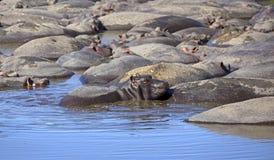 Piscine d'hippopotame pendant le jour Images stock