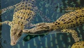 Piscine de jeunes crocodiles australiens d'eau de mer photo stock
