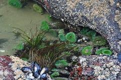 Piscine de marée des anémones, des moules et de l'herbe de mer Photographie stock