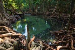 Piscine verte dans la forêt profonde de palétuvier Image libre de droits