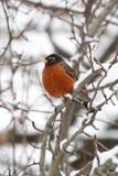 Pisco de peito vermelho americano (migratorius do Turdus) Fotografia de Stock Royalty Free