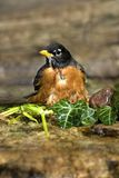 Pisco de peito vermelho americano (migratorius do Turdus) Fotografia de Stock