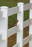 Pisco de peito vermelho & cerca branca Imagem de Stock Royalty Free