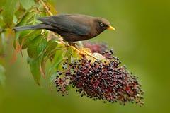 pisco de peito vermelho Argila-colorido, grayi do Turdus, sentando-se no ramo com fruto no habitat, Costa Rica Birdwatching em Am foto de stock royalty free
