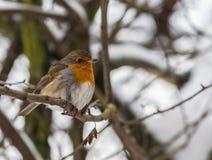 Pisco de peito vermelho - aves canoras Fotografia de Stock