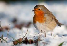 Pisco de peito vermelho bonito na neve no inverno Imagens de Stock Royalty Free