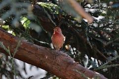 Pisco de peito vermelho vermelho de Brested Imagens de Stock Royalty Free