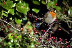 Pisco de peito vermelho do inverno Imagens de Stock Royalty Free