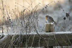Pisco de peito vermelho do inverno Fotografia de Stock