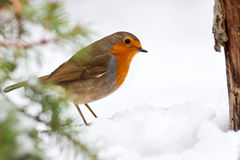 Pisco de peito vermelho do inverno com árvore e neve de pinho imagem de stock royalty free